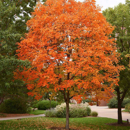 A Sugar Maple tree. (Contributed)